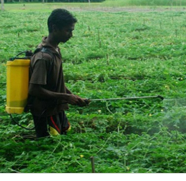 ময়মনসিংহে দিশেহারা কৃষক, মরছে টমেটো গাছ